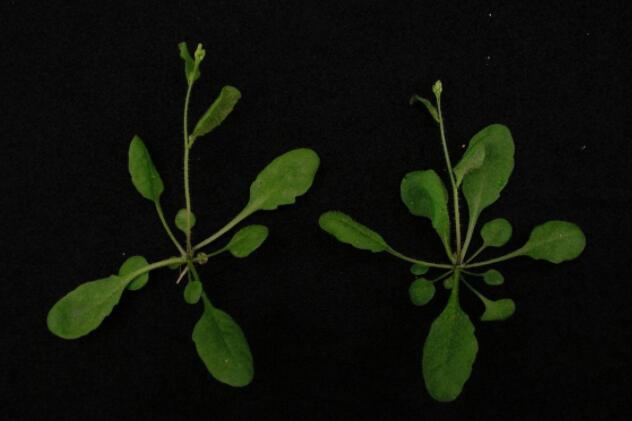 科学家在植物中开发基于CRISPR/Cas9的基因驱动