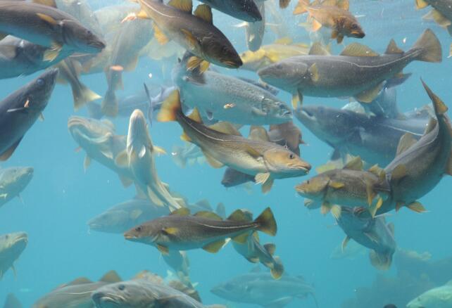 研究人员现在开发了一种计算模型 可以提前整整十年估计鳕鱼的未来