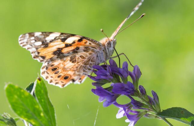 蝴蝶定期穿越撒哈拉沙漠进行已知时间最长的昆虫迁徙