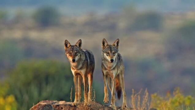印度狼是世界上最濒危和最独特的狼之一