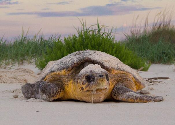 气候变化可能会给红海龟带来短期收益和长期痛苦
