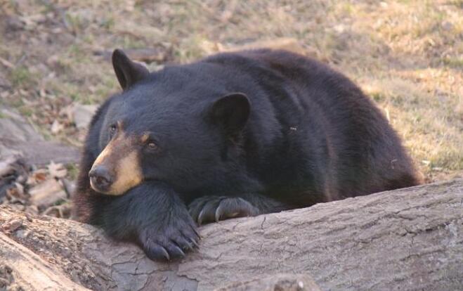 北卡罗来纳州阿什维尔的年轻雌性黑熊很大 很早就有了幼崽