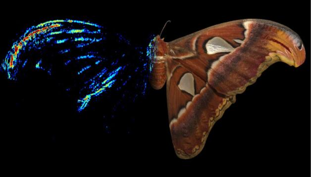 飞蛾的翼尖是一种声学诱饵来阻止蝙蝠的攻击