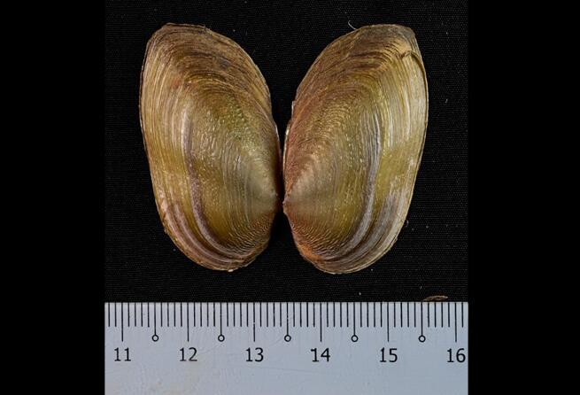 科学家在婆罗洲发现淡水贻贝的两个新种和新属
