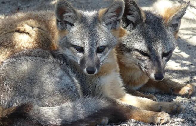 在蓝海豚岛上为稀有狐狸物种带来一线希望