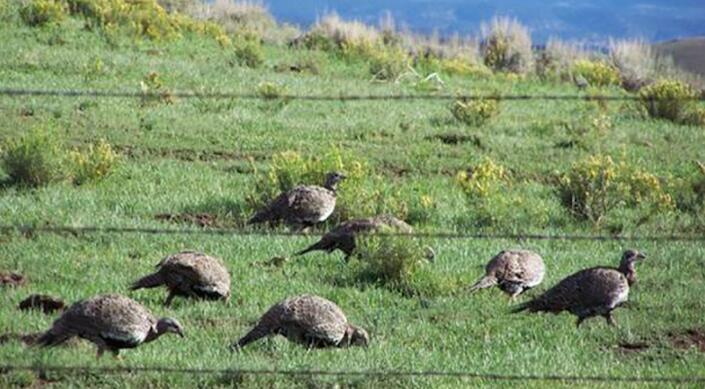 鼠尾草狩猎限制的混合结果
