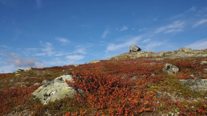 研究北极-高山植物如何应对全球变暖