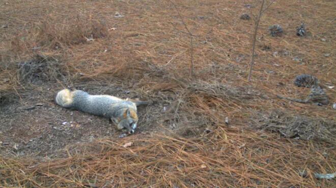 东南部的灰狐可能正在为生存而挣扎