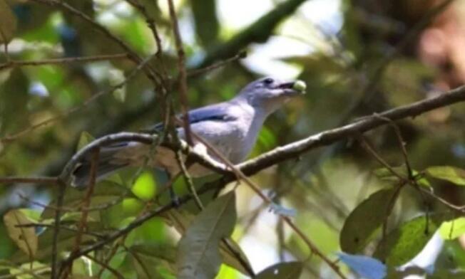 散播更多种子类型的鸟类进化几率更高